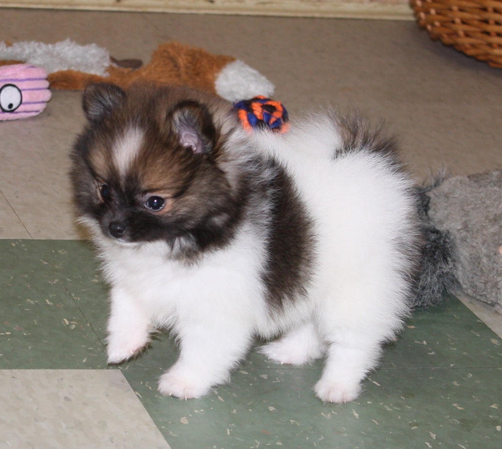 Available Pomeranians Ii