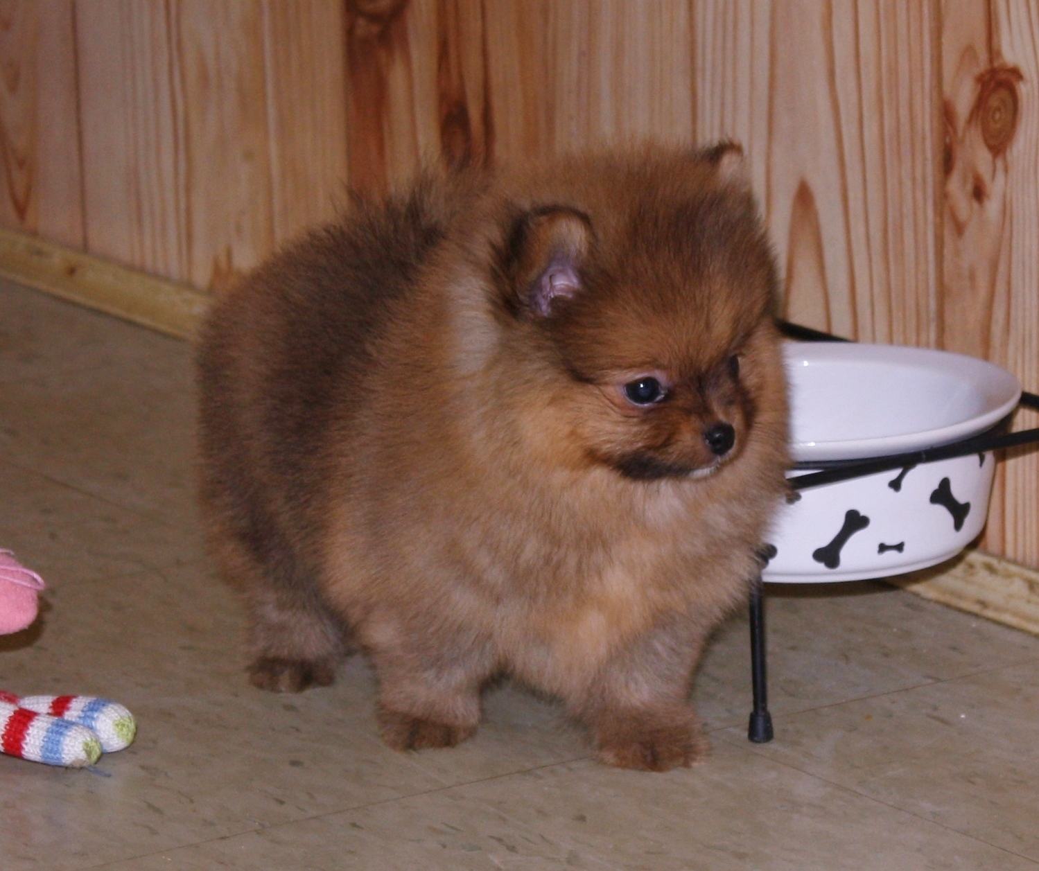 Available pomeranians pomeranian weigh chart says 55 lbs but i always add a pound for good measure she will be ready for his new home at 8 weeks old 1618 nvjuhfo Images