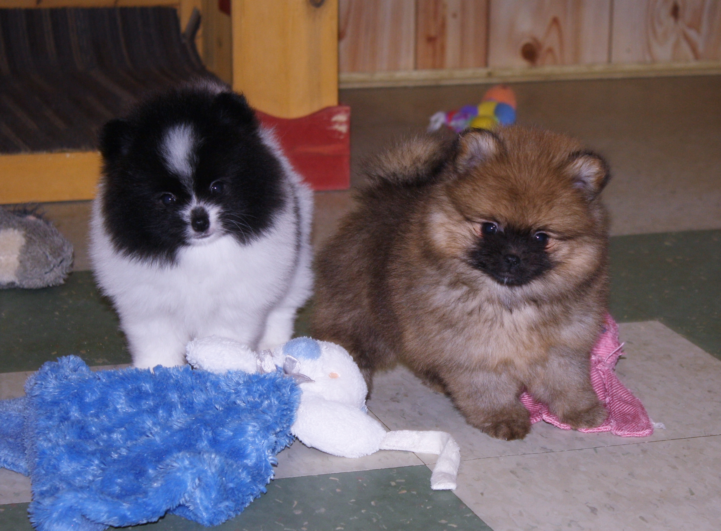 Available pomeranians new pomeranian babies posted on 1518 nvjuhfo Image collections